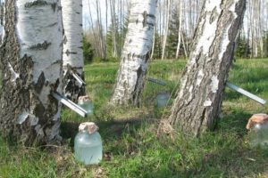 Birkenwasser in der Haarpflege – Eigenschaften, Wirkung, Effekte